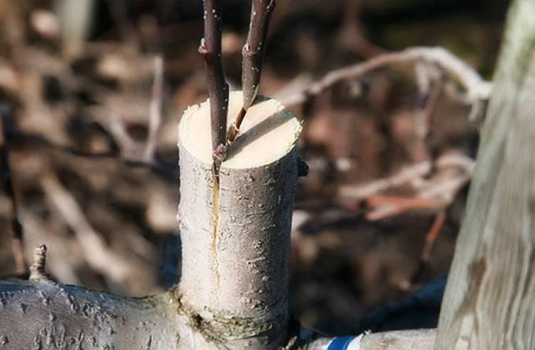 Способы прививки плодовых деревьев и лучшие подвои