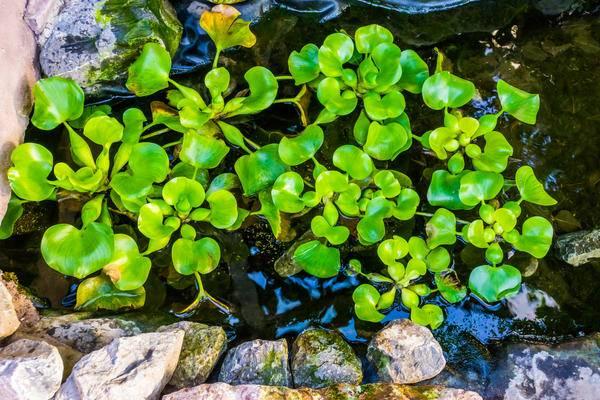 Советы: как правильно сажать и ухаживать за водным гиацинтом эйхорнией