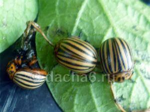 Березовый деготь против колорадского жука