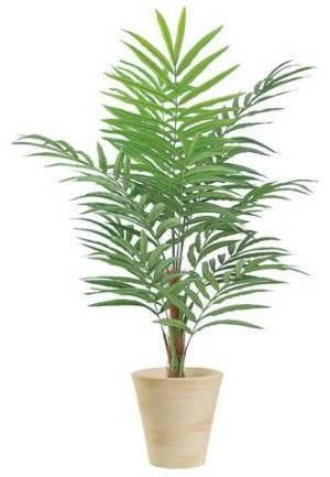 Пальмы для дома и квартиры