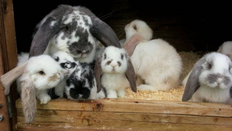 Кролик баран