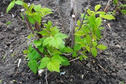 Крыжовник — уход весной и особенности внесения подкормок
