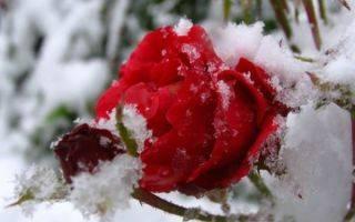 Как укрыть розы на зиму в сибири, особенности зимовки в суровых условиях