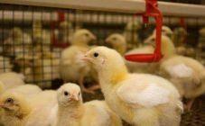 Чем пропоить цыплят: обзор витаминов и антибиотиков
