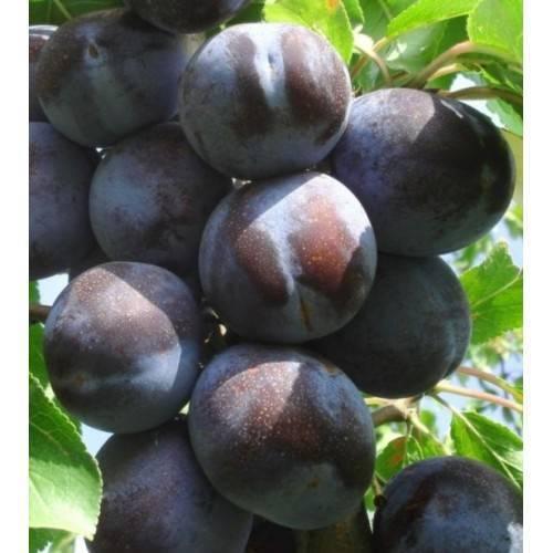 Слива: сорта сливы, особенности выращивания, болезни и вредители