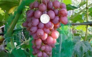 Виноград кишмиш аксайский: описание сорта, фото, отзывы