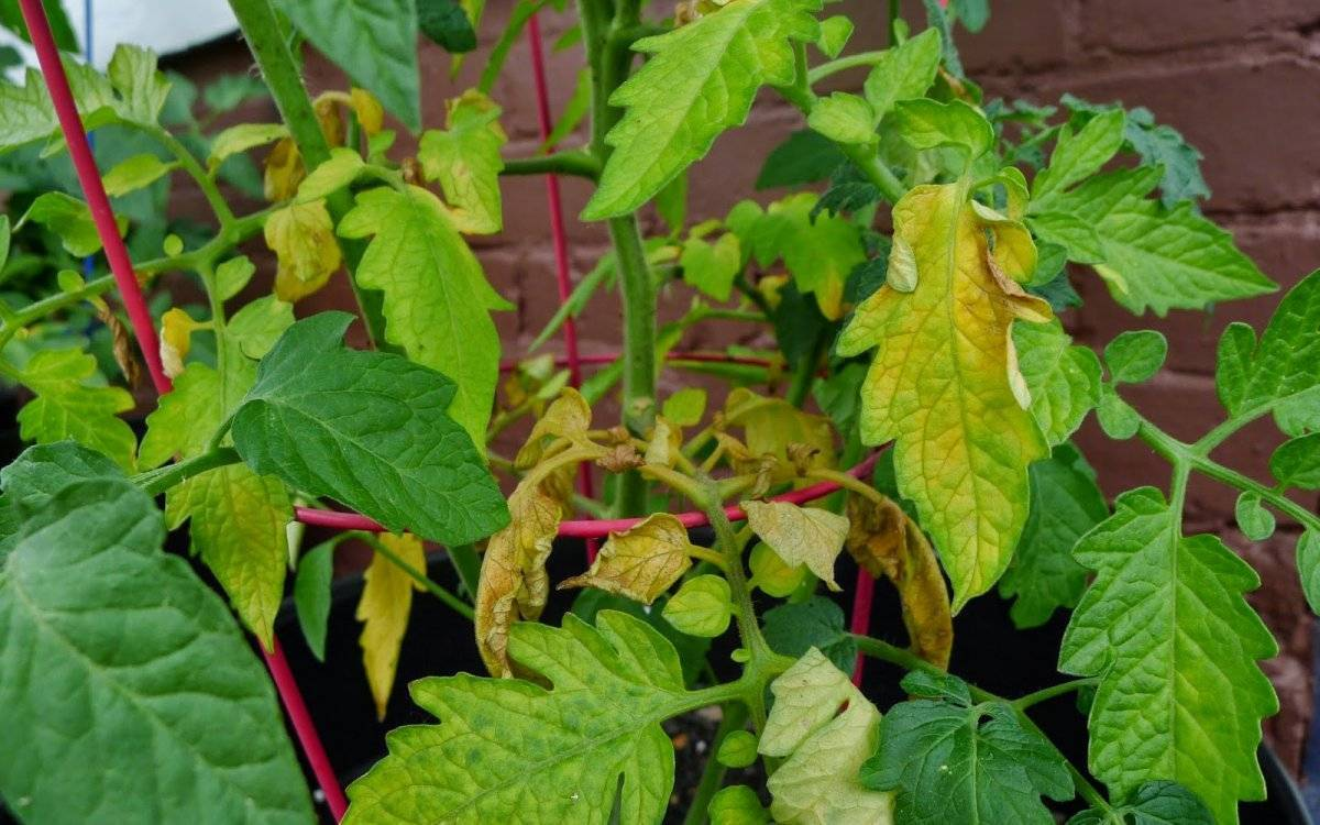 Почему желтеют листья у рассады помидор на подоконнике: что делать