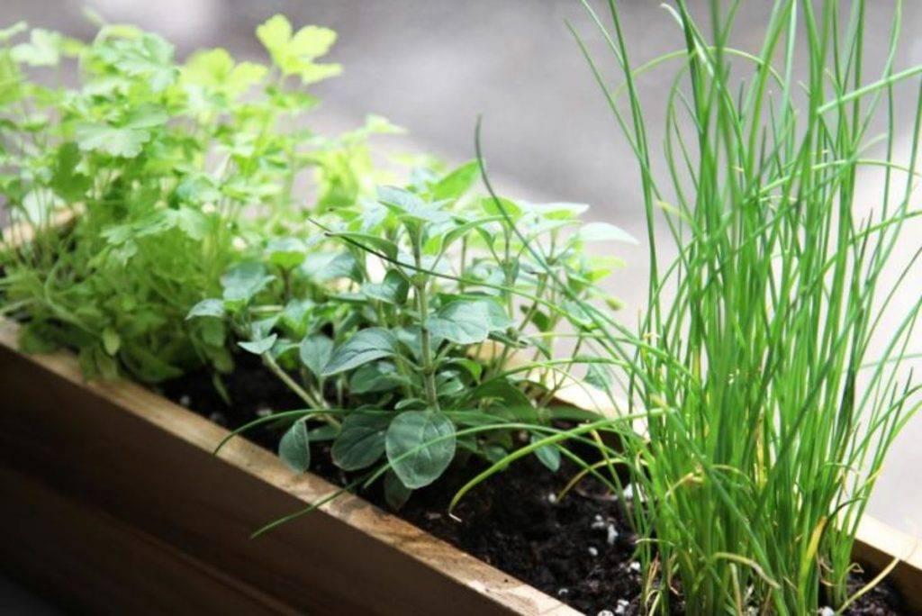 Выращивание зелени на подоконнике зимой - лук, петрушка, укроп, салат