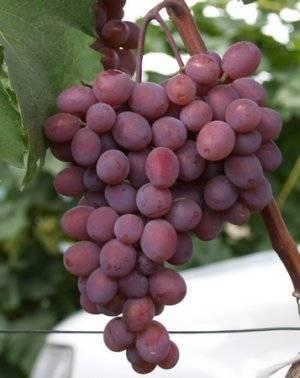 Виноград кишмиш запорожский – описание выгодного сорта + видео