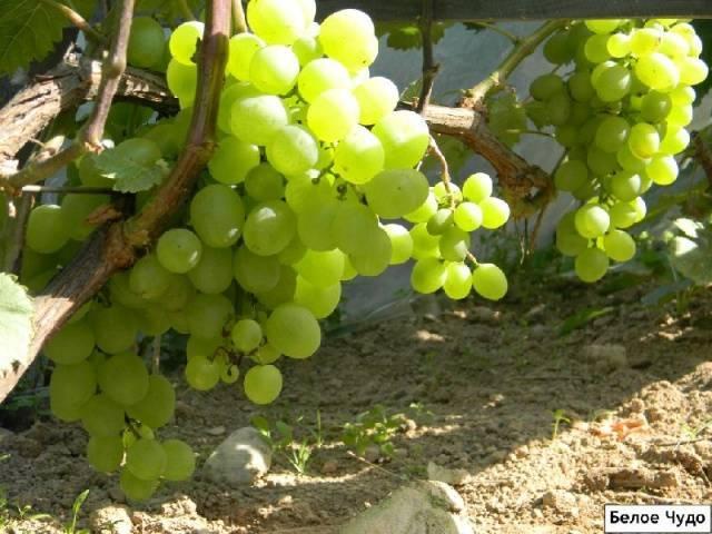 ✅ сорт винограда белое чудо фото и описание. виноград белое чудо: особенности сорта - cvetochki-ulyanovsk.ru