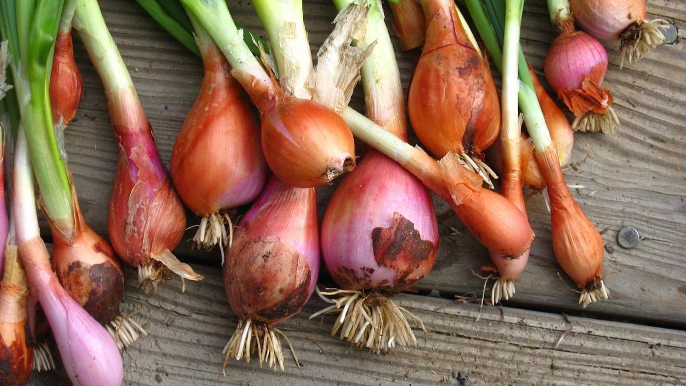 Лук шалот: описание сорта и выращивание в открытом грунте