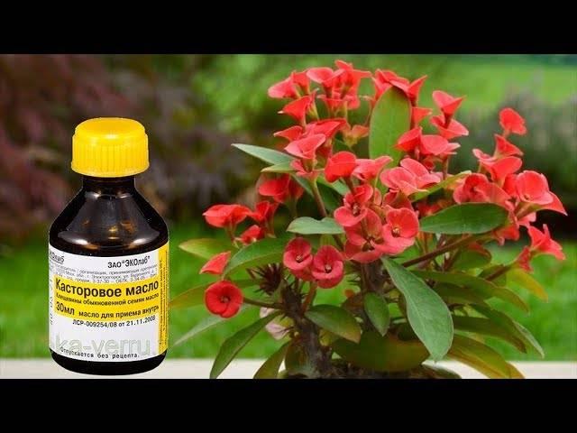Касторовое масло для очищения кишечника: как применять | здоровье | селдон новости
