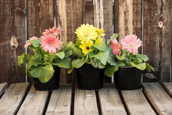 ᐉ уход за герберой в домашних условиях, виды, выращивание из семян и размножение - roza-zanoza.ru
