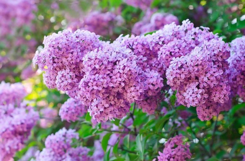 Сирень: посадка и уход в саду, виды и сорта