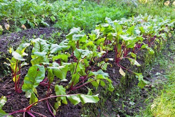 Посадка свеклы весной - посев: когда сеять, как сажать правильно