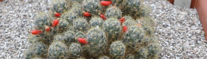 Кактус маммиллярия: разновидности растения, уход в домашних условиях и правила содержания