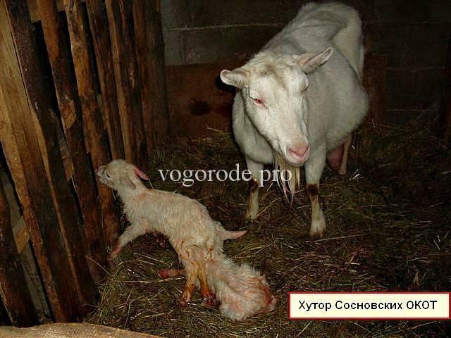 Причины отсутствия у козы молока после окота