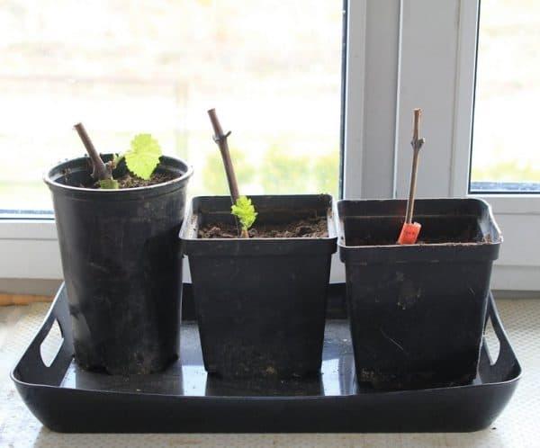 Черенки (чубуки) винограда: проращивание и укоренение в воде, грунте, торфяной таблетке