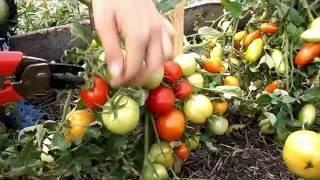 Томат видимо невидимо: отзывы, урожайность, характеристика и описание сорта
