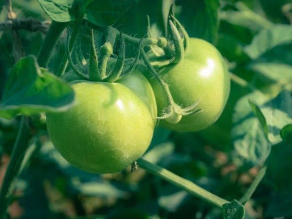 Характеристика и описание сорта томата снегирь, его урожайность - всё про сады