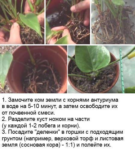 ᐉ когда и как пересаживать антуриум: пересадка во время цветения и после покупки - roza-zanoza.ru