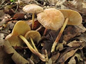 Коллибия 8 стрейнов - несьедобные грибы
