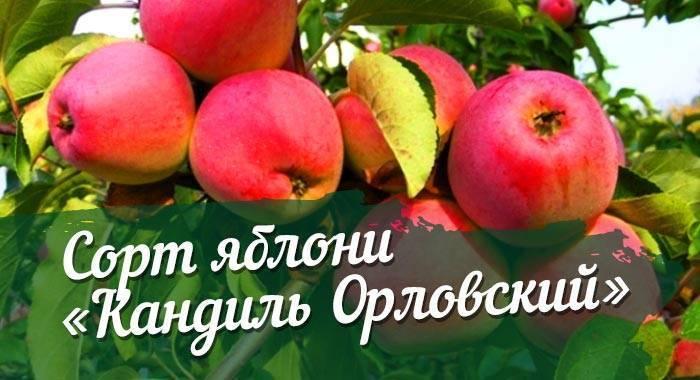 Яблоня кандиль орловский: описание сорта, фото, отзывы