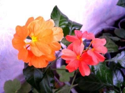 Цветок «кроссандра»: описание, уход в домашних условиях + фото