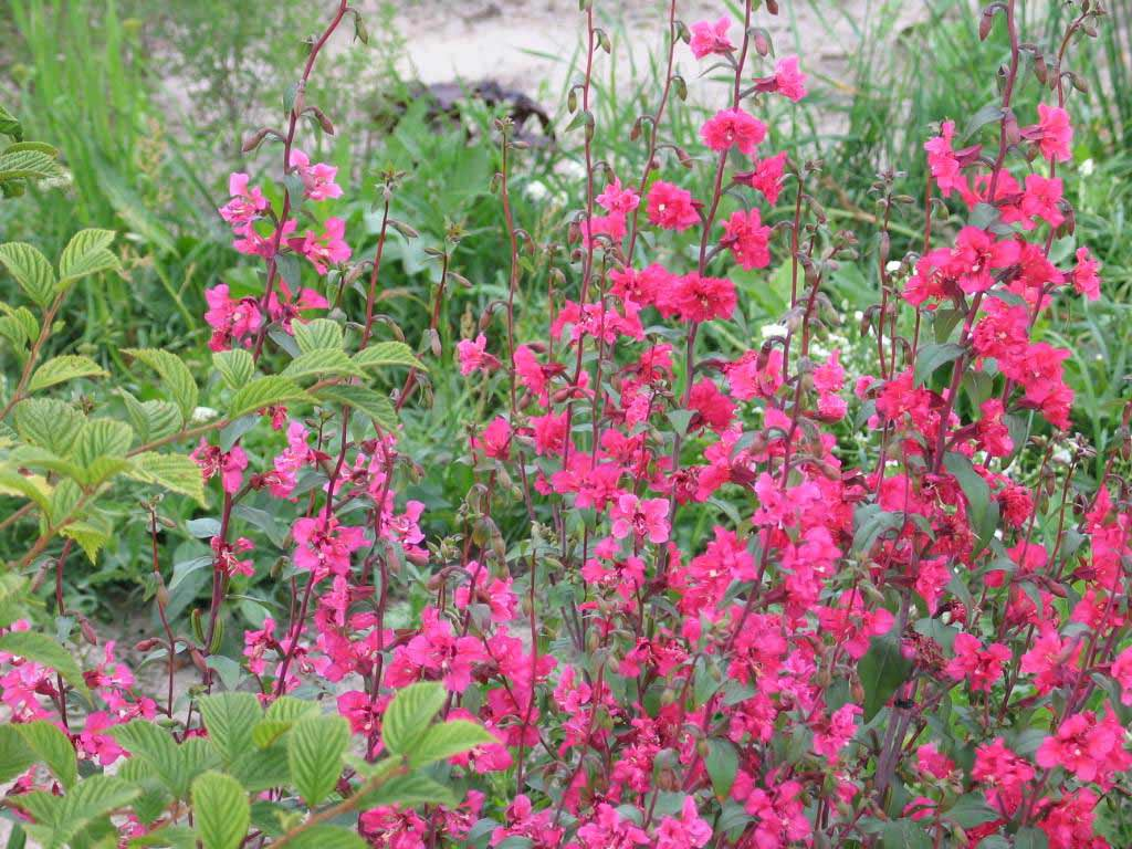Кларкия изящная: фото и выращивание из семян