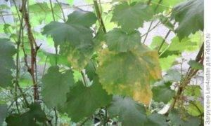 Желтеют и сохнут листья у винограда что делать, чем обработать