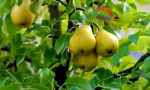 Уход за грушей весной на даче: что делать, чтобы был хороший урожай