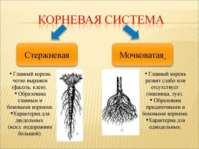 Характеристика корневой системы моркови - сад и огород