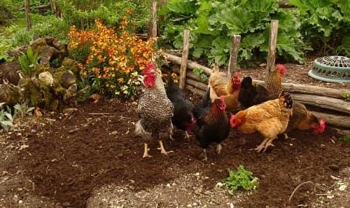 Куриный помет как удобрение, способы приготовления и применения