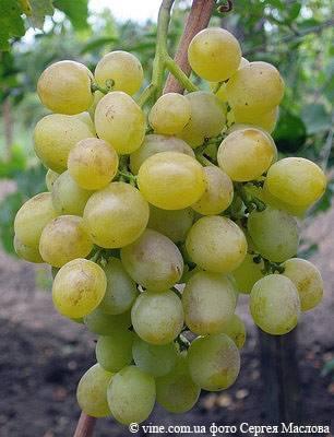 Устойчивый к заболеваниям столовый сорт винограда «восторг белый»