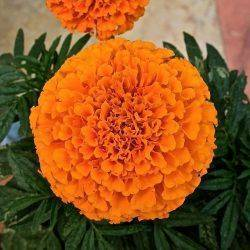 Красивые и полезные цветы - бархатцы. описание, польза растения и уход за ним