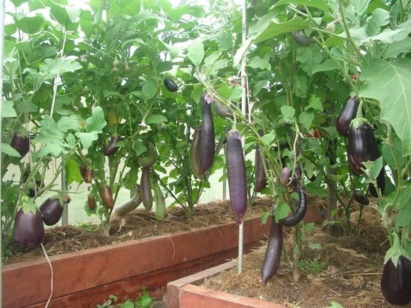 Баклажаны выращивание и уход в теплице, как ухаживать + видео: уход за баклажанами в теплице из поликарбоната