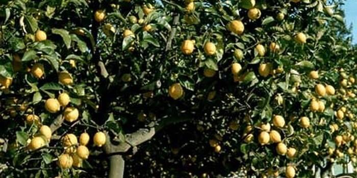 Дерево домашний грейпфрут: фото, уход в домашних условиях и правила выращивания растения, его сорта