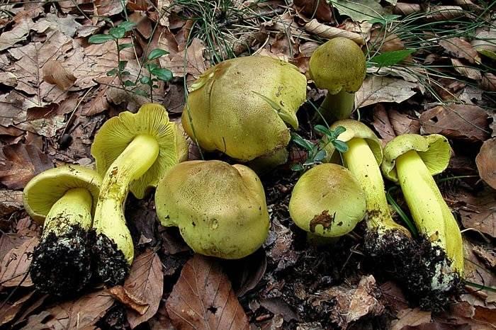 Грибы рядовки съедобные и ядовитые: как отличить? виды грибов рядовок: фото, описание