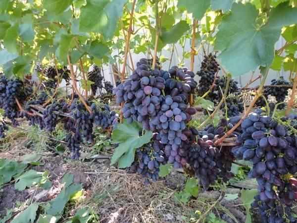 Виноград гала: описание сорта, фото, отзывы и видео
