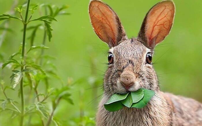 Чем питается заяц в лесу? чем питаются зайцы зимой? заяц-беляк: описание, где обитает и чем питается