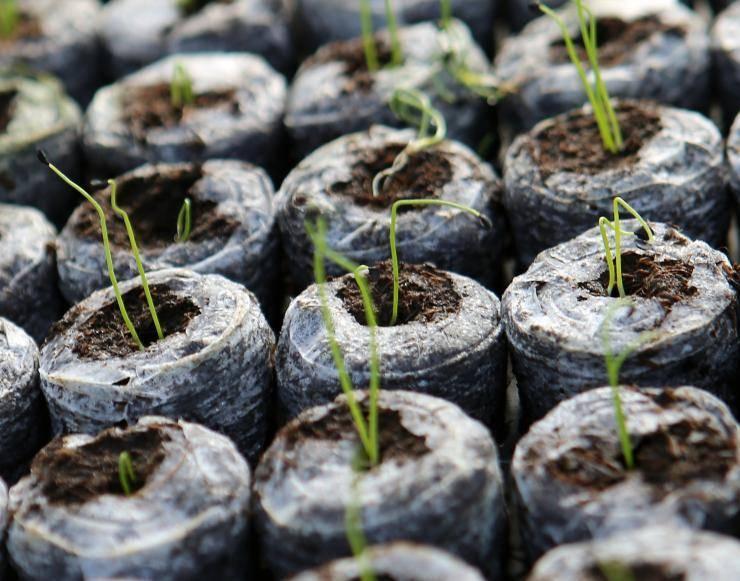 Посадка рассады в торфяные таблетки и в улитки, посадка и проращивание семян
