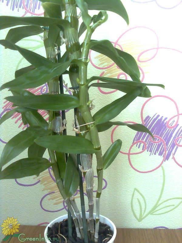 Что нужно знать про цветение орхидеи дендробиум