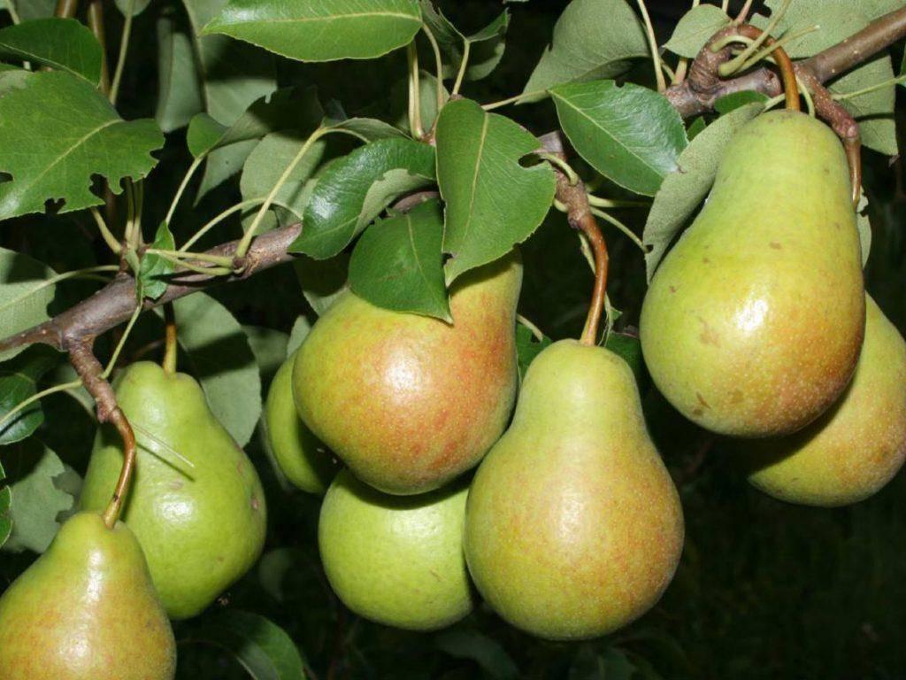 Сорта груши для сибири: описание 12 самых морозостойких