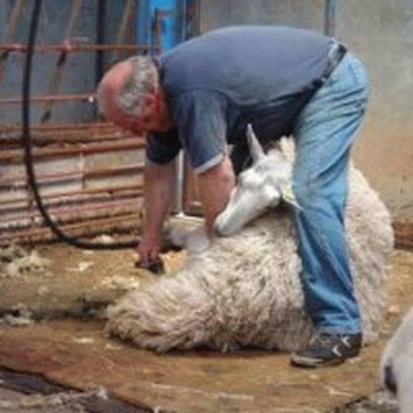 Как выбрать ножницы для стрижки овец?
