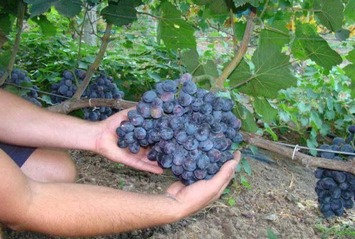 Сорт винограда гала — описание характеристика