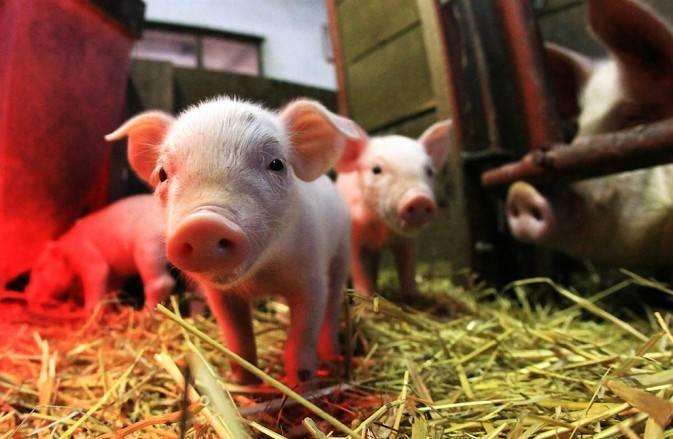 Свиноматка: признаки опороса, роды и последующий уход