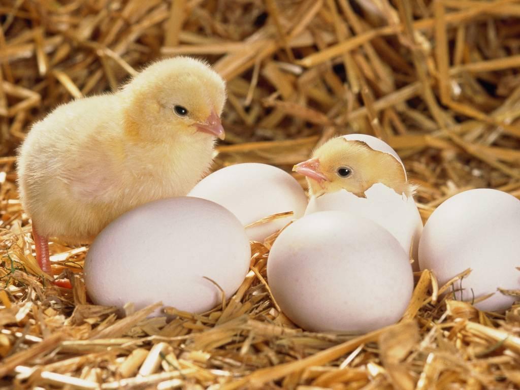 Корм для цыплят: можно ли и как давать готовые смеси двухмесячным птенцам, в том числе мешанки «старт», «солнышко», «пурина», каков состав питания и нормы расхода? selo.guru — интернет портал о сельском хозяйстве