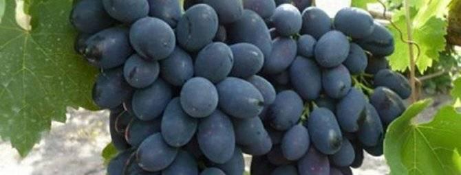Описание сорта винограда кодрянка (+фото)