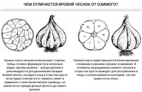 Чеснок: выращивание и уход в открытом грунте