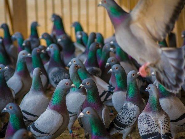 Парамиксовирусная инфекция голубей